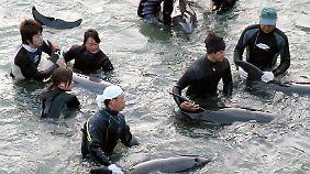 Du musst sterben, du darfst leben: Fischer beurteilen die gefangenen Delfine, nur die schönsten und stärksten können an Aquarien verkauft werden.
