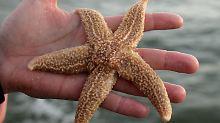 Schön und fragil: Seesterne reagieren empfindlich auf Veränderungen in der Umwelt - vor allem Jungtiere.
