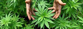 """Der echte """"Dude"""" konnte zum Schluss bis zu 1500 Cannabispflanzen pro Zyklus ernten."""