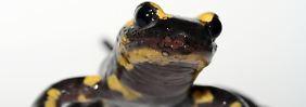 Ursache des mysteriösen Sterbens: Asiatischer Pilz tötet Salamander