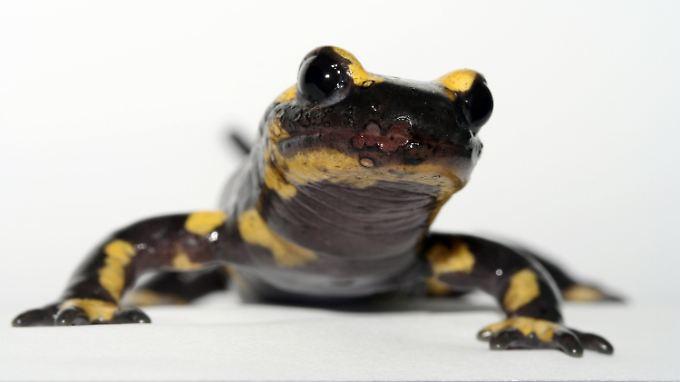Ein Feuersalamander (Salamandra salamandra), der mit dem Pilz Batrachochytrium salamandrivorans infiziert ist.