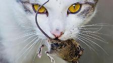 Katze mit einer kurz zuvor gefangenen Maus. Foto: Julian Stratenschulte