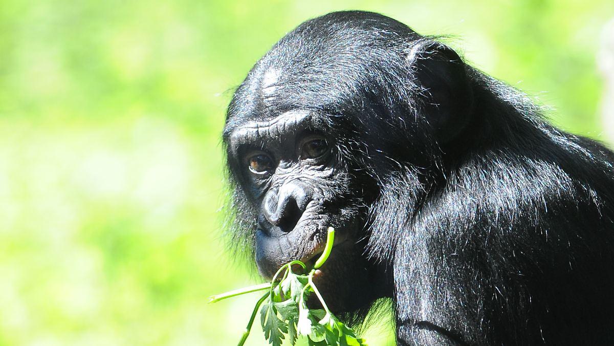 Bonobo die panspermatheorie 2 8