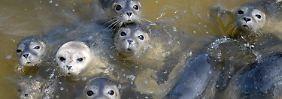 H10N7 breitet sich aus: Hunderte Seehunde sterben an Vogelgrippe