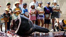 Blutige Jagd auf friedliche Riesen: Die Walfangpläne der Japaner