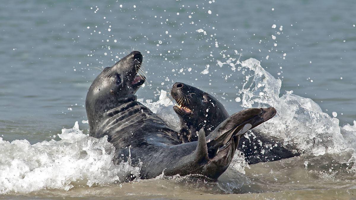 Kegelrobben jagen Schweinswale