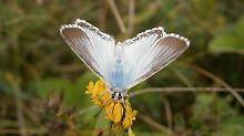 Der Schöne unter den Insekten: Silbergrüner Bläuling wird geehrt