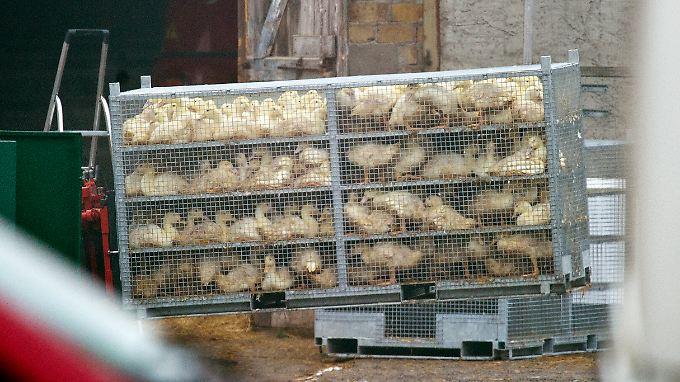 Ein Bild von 2013: Damals war ein Entenmast-Betrieb in Brandenburg vom H5N1-Virus betroffen.