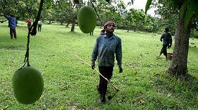 Eine einzige Mango kann bis zu zwei Kilo auf die Waage bringen.