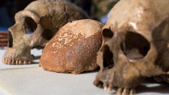 Schädelteil eines modernen Menschen (Homo sapiens), zwischen einem Neandertaler-Schädel (l.) und einem menschlichen Schädel von heute, ausgestellt vor der Manot-Grotte in Nordisrael.
