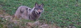 Ein Wolf unweit einer Straße in der Nähe von Drantum (Niedersachsen).