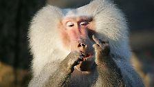 Dieser Pavian sagte gewissermaßen den Besuchern im Hamburger Hagenbeck-Zoo seine Meinung.