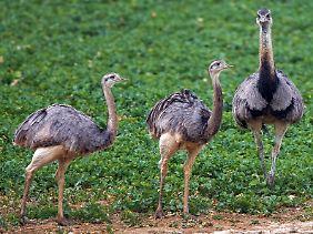 Ursprünglich sind Nandus in Südamerika beheimatet.
