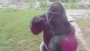 Schockmoment in Nebraska: Gorilla geht auf Zoobesucher los