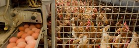 Kritik an Hühnerhaltung: Viele Hennen sterben vor der Schlachtung