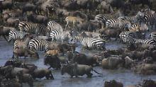 """Die """"große Wanderung"""" der Gnus und Zebras ist ein beeindruckendes Naturspektakel, ..."""
