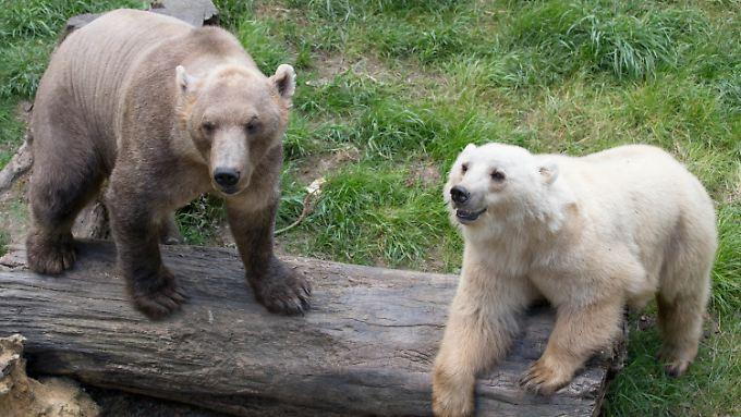 Die Mischbären (Hybridbären) Tips (hell) und ihr Bruder Taps im Zoo in Osnabrück.