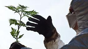 Aggressiver als Gräserpollen: Ambrosia wird zur gefährlichen Plage