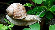 Bio-Klebstoffe aus der Natur: Forscher setzen auf Schneckenschleim