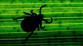 Frühzeitiges Entfernen wichtig: Ein Drittel aller Zecken können Borrelien übertragen