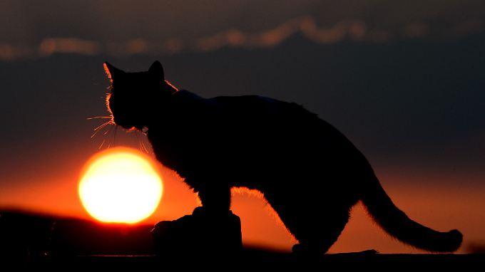 Katzen kamen im 17. Jahrhundert mit den Siedlern nach Australien - nun bedrohen sie einheimische Arten.