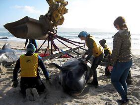 160 Menschen kämpften in Neuseeland um das Leben von 24 Walen.