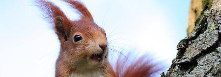 So läuft der 28. Spieltag: Der FC Bayern jagt die Eichhörnchen