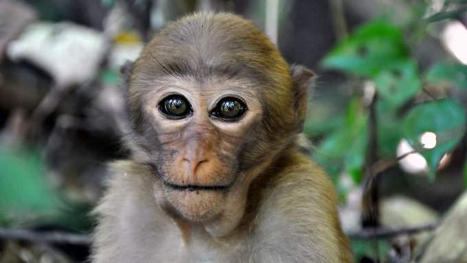 Ein Assam-Makaken-Mädchen.
