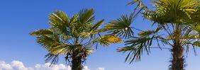 Einwanderung exotischer Arten: Palmen könnten bald in Deutschland boomen