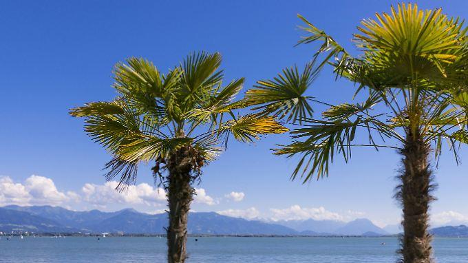 Palmen an der Promenade in Lindau am Bodensee.