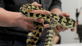 Python im Hausmüll entdeckt: Ausgesetzte Exoten sorgen für Schreckmomente