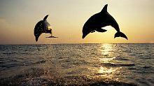 Tierischer Agent enttarnt?: Mossad-Delfin könnte Ente sein