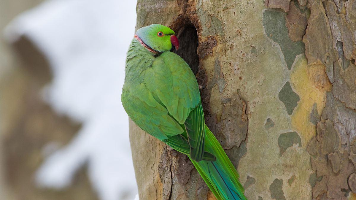 Potenziell Invasiv Papageien Erobern Europas St 228 Dte N Tv De