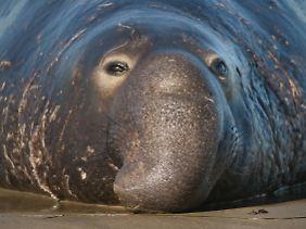 Nördlicher See-Elefant in Kalifornien.