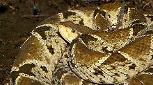 Aktiver bei großer Hitze und Kälte: Schlangen beißen wetterabhängig