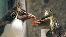 Monogame Tiere gehen auf Distanz: Felsenpinguine führen Fernbeziehungen