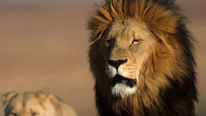 Der König der Tiere: Vor allem Jäger aus den USA wollen seinen Kopf als Trophäe.