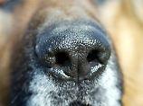 Komplexer aufgebaut als das Riechorgan des Menschen: die Hundenase.