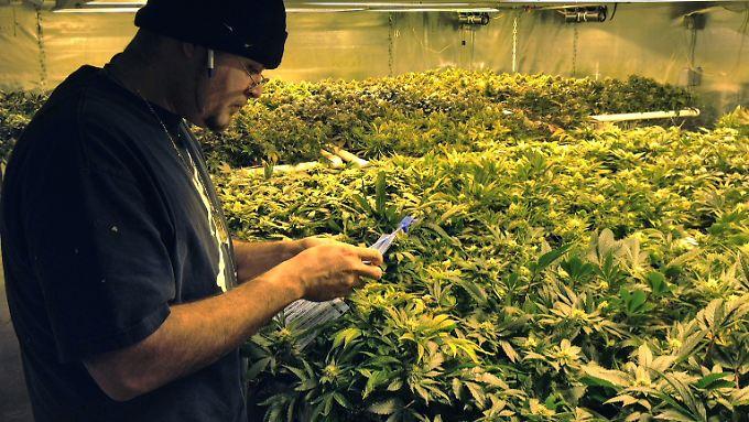 Das Problem in den USA: Auf Bundesebene ist der Handel mit Marihuana noch immer illegal, die Rechtslage ist unübersichtlich.