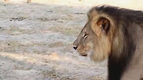 Großwildjagd in der Kritik: Cecils Tod kommt Simbabwe teuer zu stehen