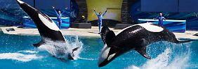 Neue Präsentation angekündigt: SeaWorld beendet Orca-Show in San Diego