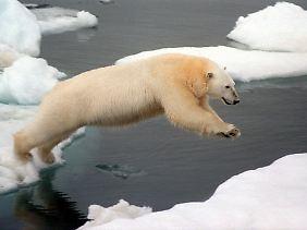 Eisbären sind von der Eisschmelze betroffen.