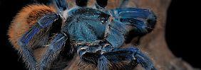 Keine Rolle bei der Partnerwahl: Warum sind Vogelspinnen strahlend blau?