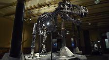 """Da ist er, der neue König von Berlin: """"Tristan Otto"""", etwa 66 Millionen Jahre alt."""