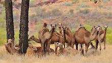 Weniger Übertragungen auf Menschen: Mers-Impfstoff für Kamele getestet