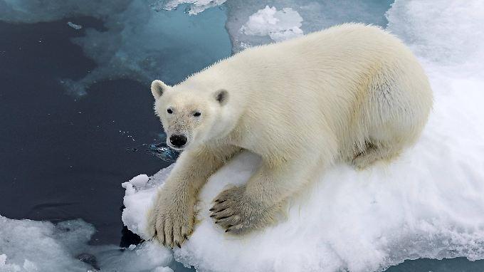 Der Rückgang des Eises ist besonders für Eisbären bedrohlich. Ihr Lebensraum schrumpft enorm.