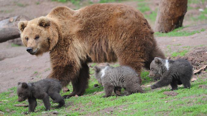 Die Zahl der Bären wächst.