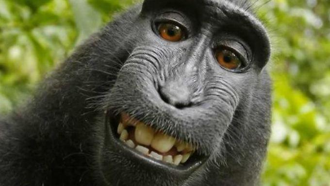 Makake Naruto machte ein Selfie von sich.