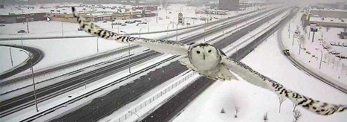 Die Schnee-Eule von Montreal.
