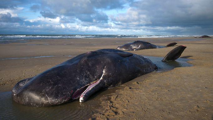 Mensch wohl nicht ganz unschuldig: Mehrere Wale verenden entlang der Nordseeküste